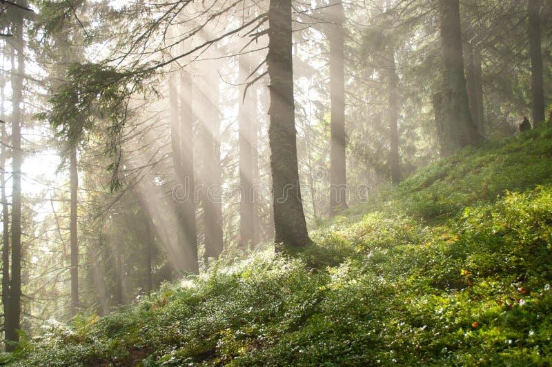 Raggi di Sun fra i pini nella foresta fotografia stock