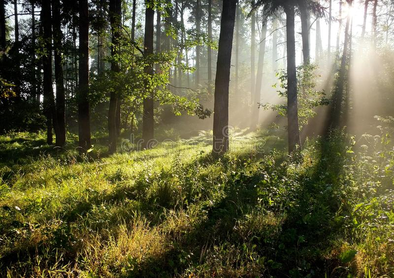 Raggi di Sun in una foresta immagine stock libera da diritti