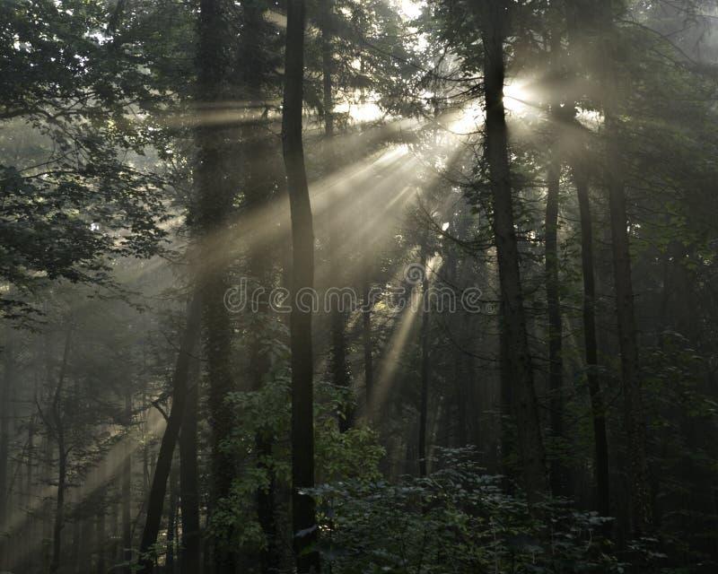 Raggi di Sun in una foresta immagini stock