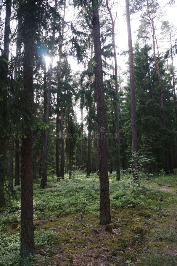 Raggi di Sun in una foresta immagine stock