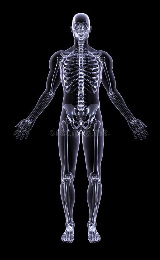 Raggi X - figura completa maschio illustrazione vettoriale
