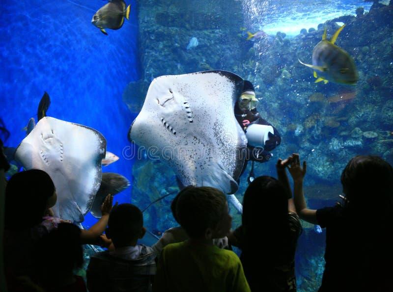 Raggi in un acquario gigante con la sorveglianza dei bambini immagine stock