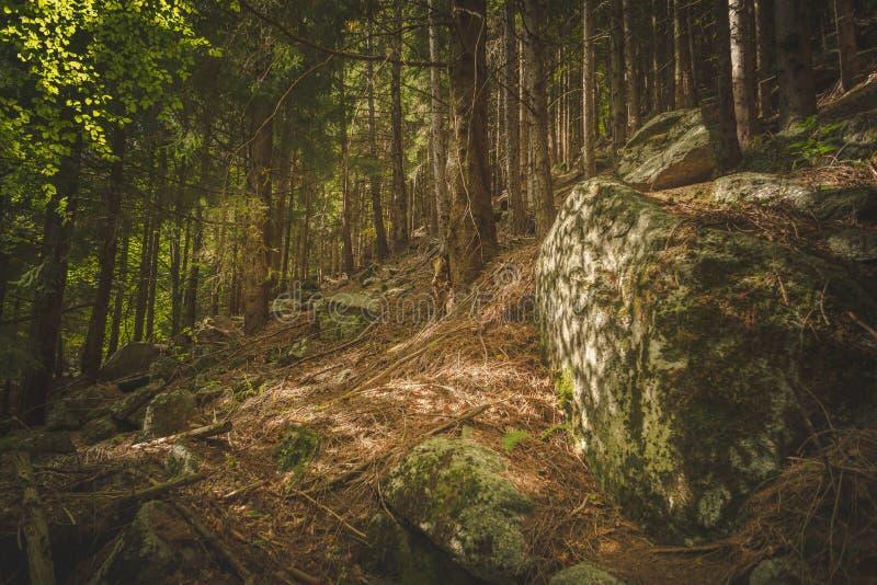 Raggio di luce solare dorato nella foresta immagine stock