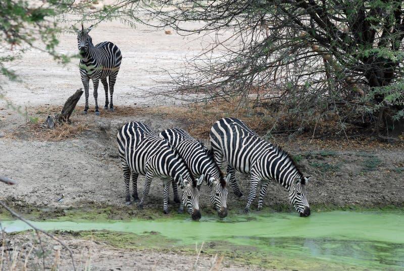 Raggruppi la zebra che beve dal waterhole verde - Tanzania immagini stock libere da diritti