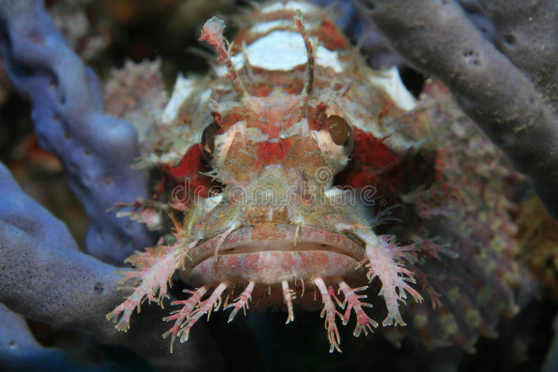 Raggy scorpionfish royalty free stock photo
