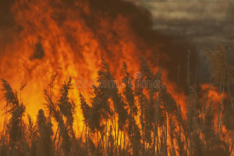The raging flame of fire burn in the fields, forests and black thick acrid smoke. Big wildfire close-up. The raging flame of fire burn in the fields, forests and royalty free stock images