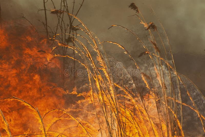 The raging flame of fire burn in the fields, forests and black thick acrid smoke. Big wildfire close-up. The raging flame of fire burn in the fields, forests and stock photography