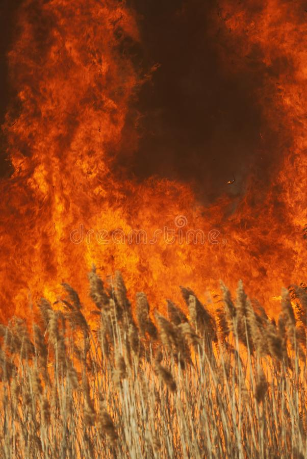 The raging flame of fire burn in the fields, forests and black thick acrid smoke. Big wildfire close-up. The raging flame of fire burn in the fields, forests and royalty free stock image
