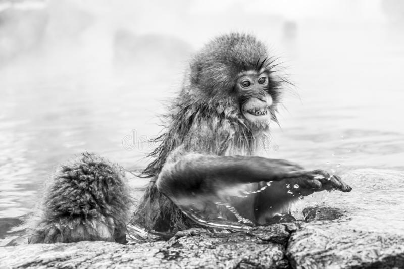 Raging japanese snow monkey sitting in a hot spring. Nagano Prefecture, Japan. Yudanaka royalty free stock photography