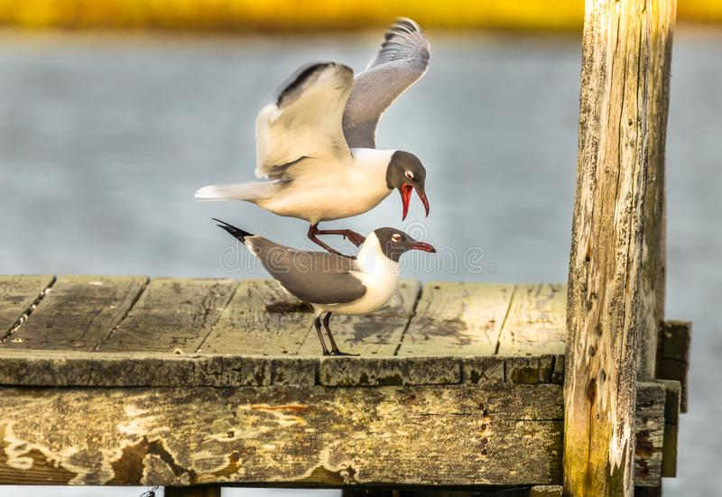 The Raging Laughing Gull royalty free stock photography