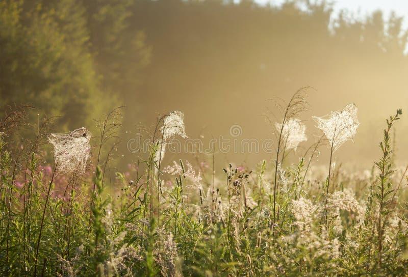 Ragnatela sulle piante all'alba immagini stock