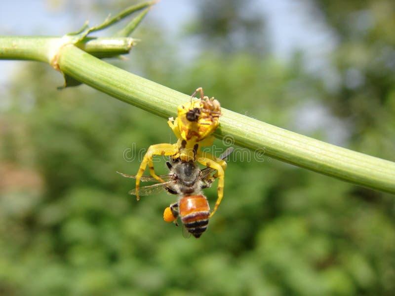 Ragni che mangiano preda fotografia stock libera da diritti