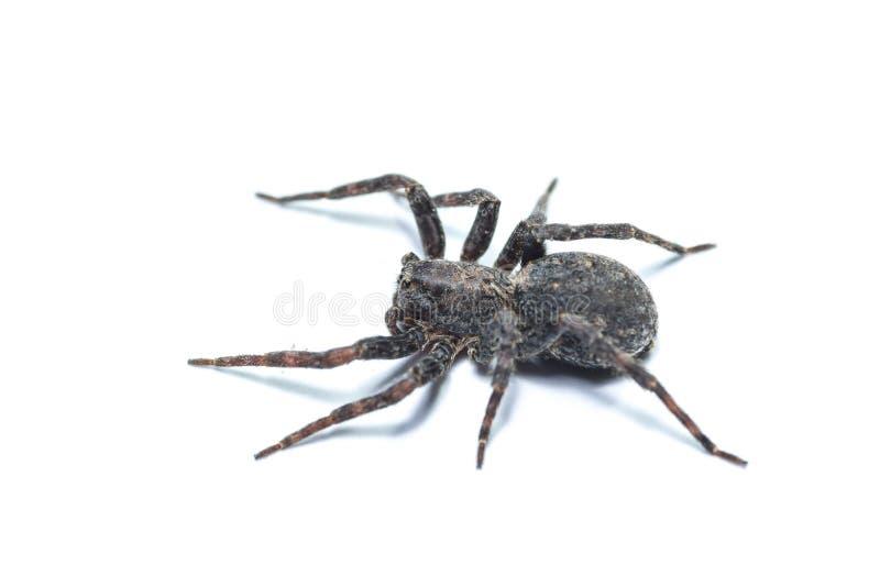 ragni marroni fotografia stock