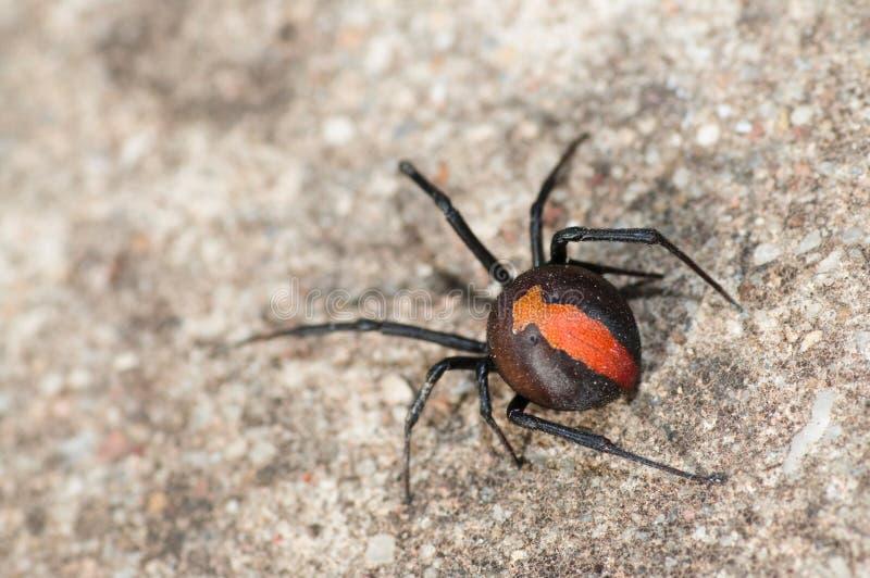 Ragno australiano della parte posteriore di colore rosso fotografie stock