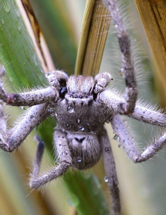 Ragno australiano peloso immagine stock