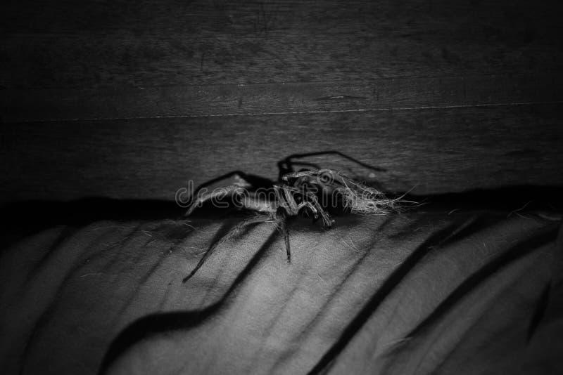 Ragno brasiliano molto grande molto tossico immagine stock