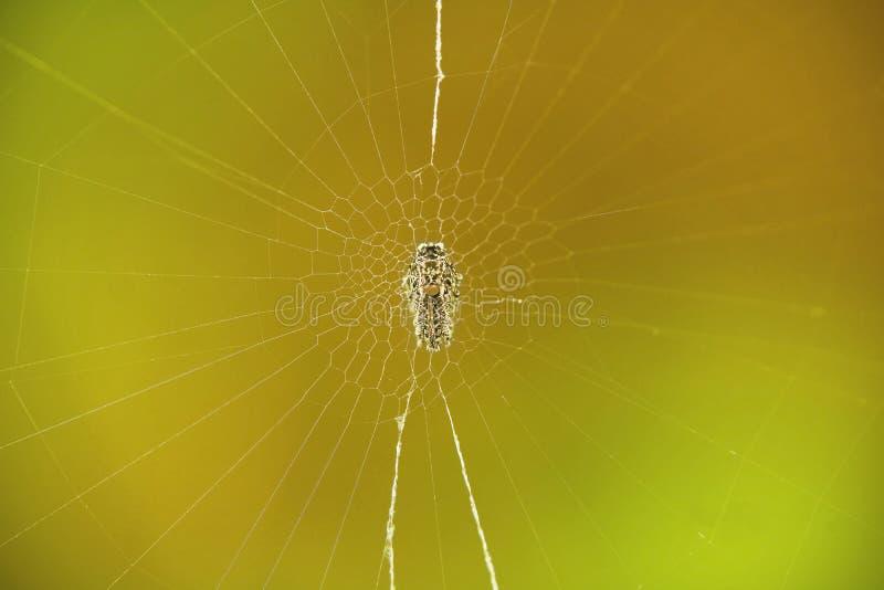 Ragno che riposa nel suo proprio web immagine stock