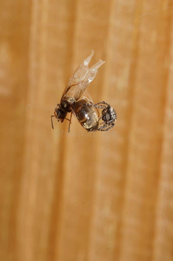 Ragno che si alimenta la formica di volo immagini stock libere da diritti