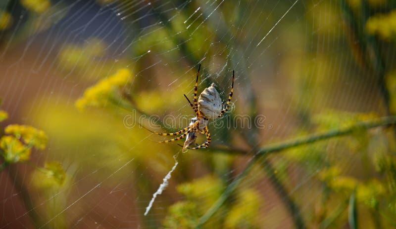 Ragno con la piccola vespa immagini stock