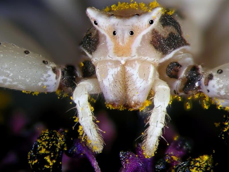 Ragno del granchio del fiore immagini stock