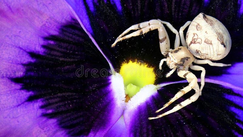 Ragno del granchio del fiore immagine stock