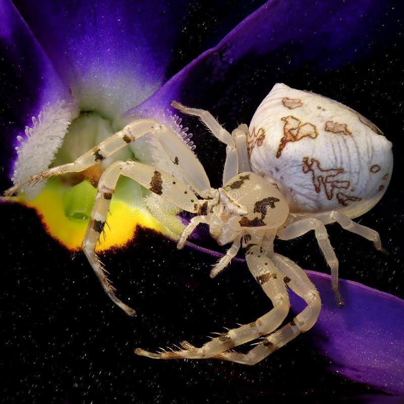 Ragno del granchio del fiore fotografia stock