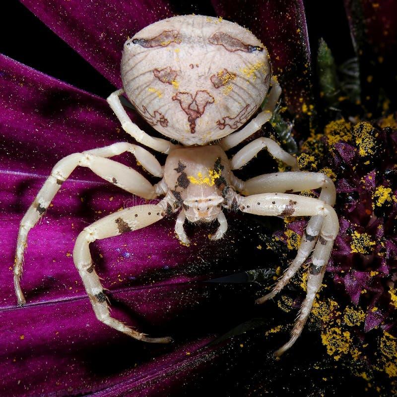 Ragno del granchio del fiore fotografie stock