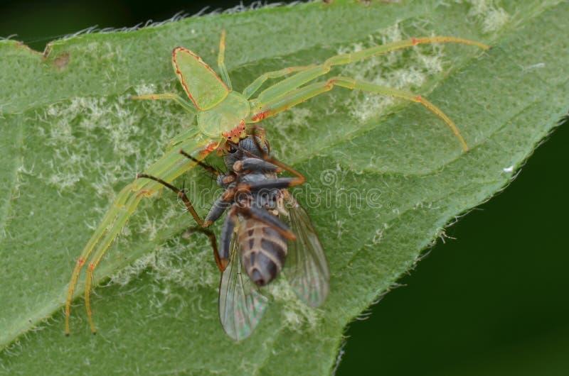 Ragno della granchio comune con la preda fotografia stock