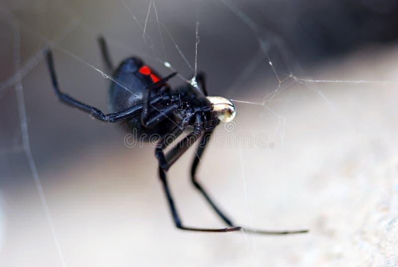 Ragno della vedova nera fotografia stock