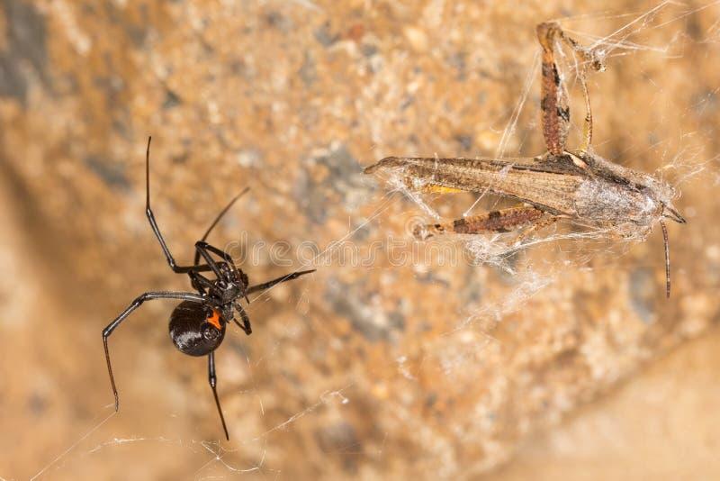 Ragno della vedova nera che impiglia una cavalletta fotografia stock
