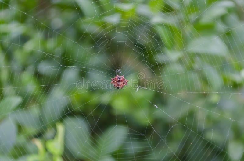 Ragno di Gasteracantha al centro del web Weaved immagini stock
