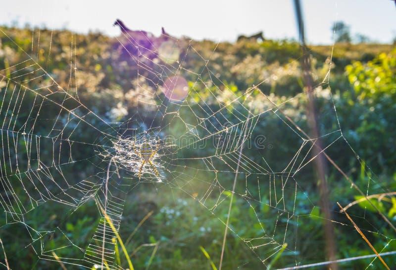 Ragno di giardino spogliato immagini stock libere da diritti