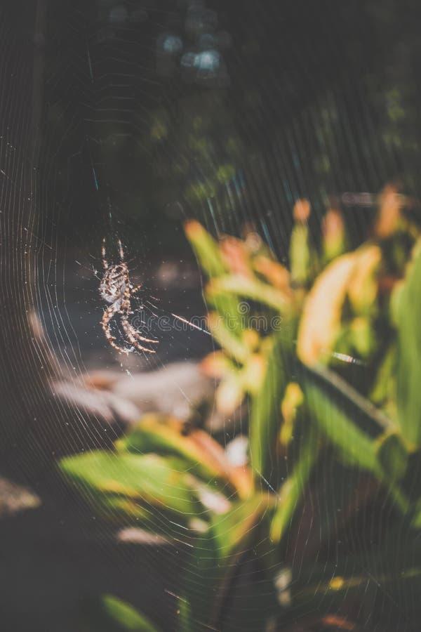 Ragno di giardino sul suo web immagini stock libere da diritti