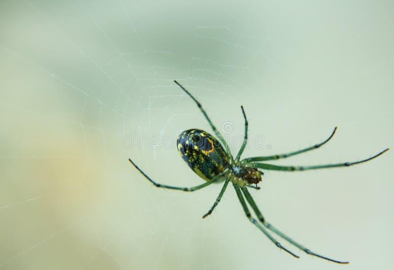 Ragno di giardino verde immagini stock