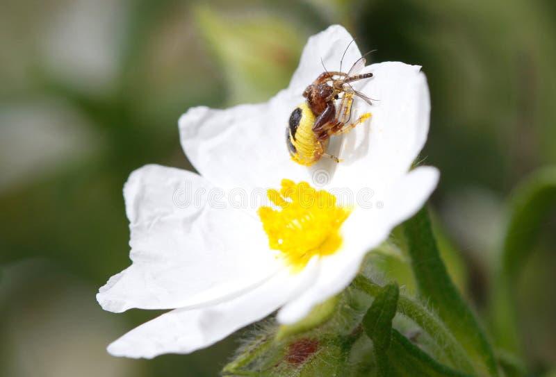 Ragno di globusum di Synama che divora preda bloccata sopra un dettaglio del fiore fotografia stock