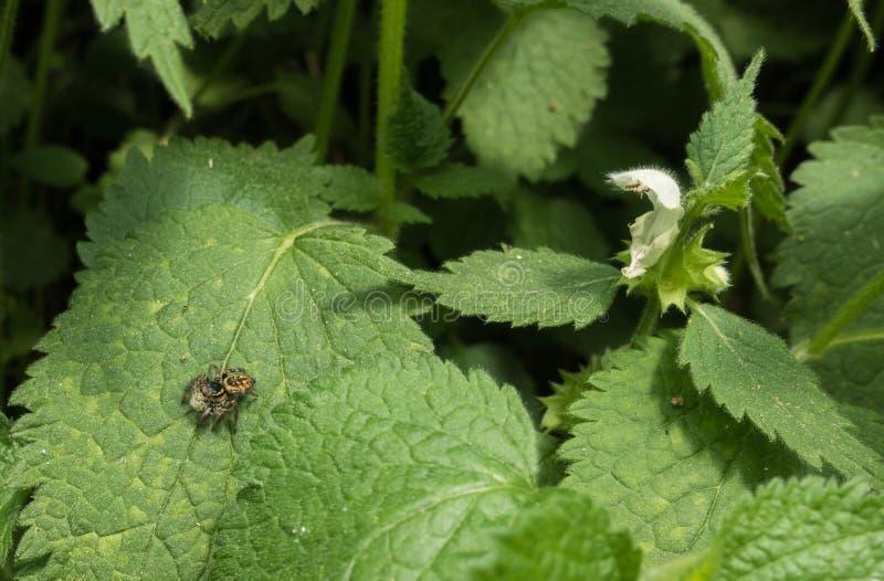 Ragno di salto sul fiore della pianta dell'ortica fotografia stock libera da diritti