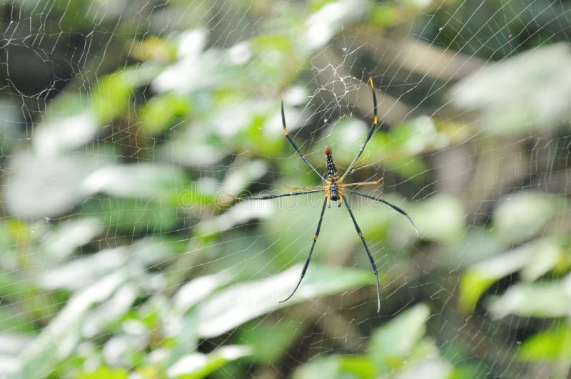Ragno dorato del batik che striscia sulle vittime aspettanti della rete in foresta fotografia stock libera da diritti