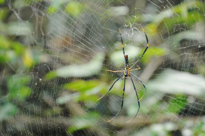 Ragno dorato del batik che striscia sulle vittime aspettanti della rete in foresta fotografia stock
