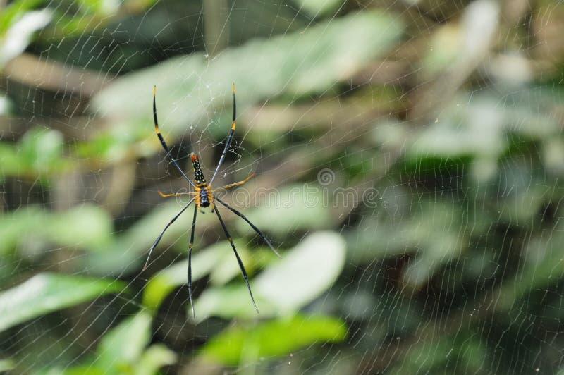Ragno dorato del batik che striscia sulle vittime aspettanti della rete in foresta immagine stock