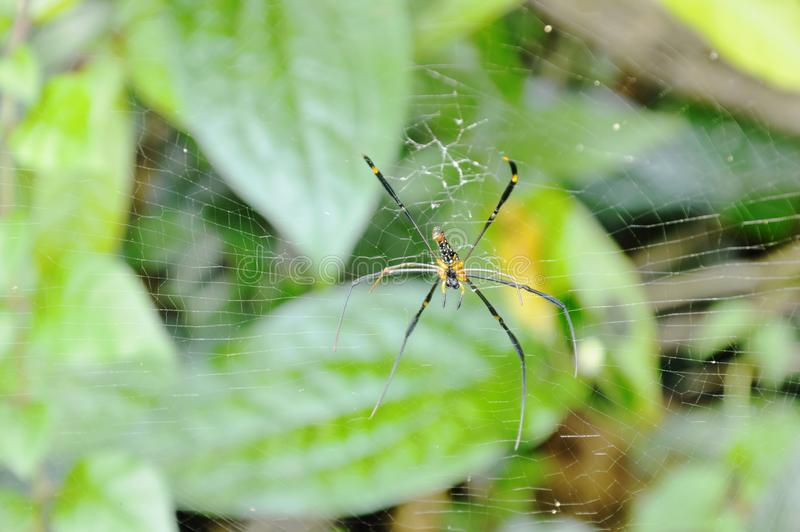 Ragno dorato del batik che striscia sulle vittime aspettanti della rete in foresta immagini stock