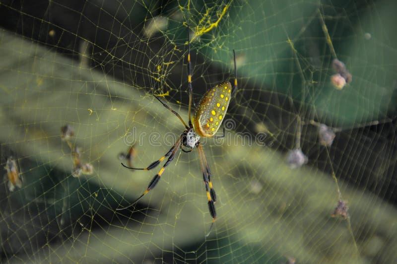 Ragno dorato del globo nel parco nazionale di Corcovado, Costa Rica immagini stock