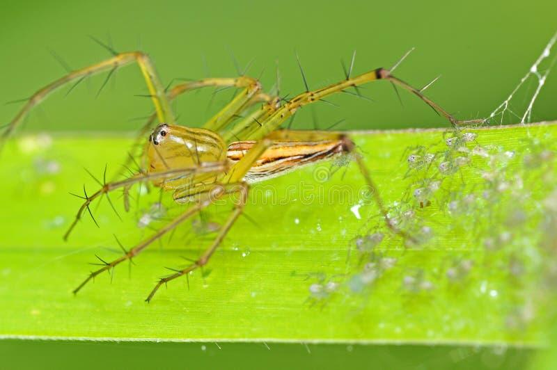 Ragno e bambini del lince