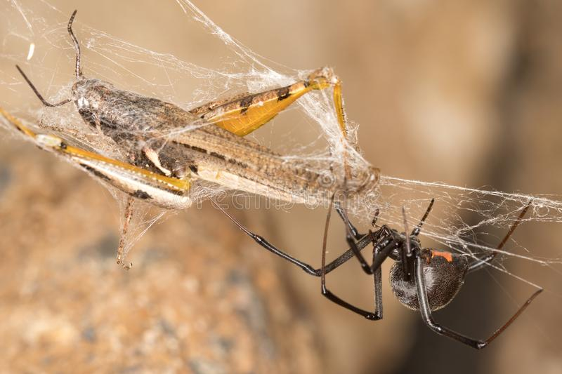 Ragno e fermo della vedova nera Le vedove nere sono ragni rinomati identificati dal segno colorato e a forma di clessidra sui lor fotografia stock
