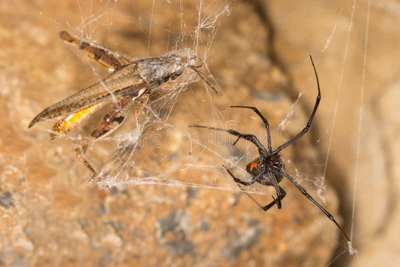 Ragno e fermo della vedova nera Le vedove nere sono ragni rinomati identificati dal segno colorato e a forma di clessidra sui lor immagine stock libera da diritti