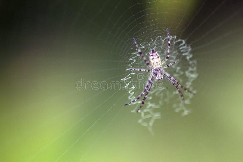 Ragno e hotography del macrop di web fotografie stock