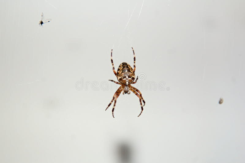 Ragno e la sua cena fotografia stock