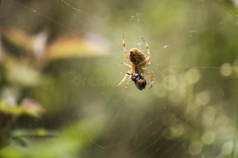 Ragno e la sua preda fotografia stock