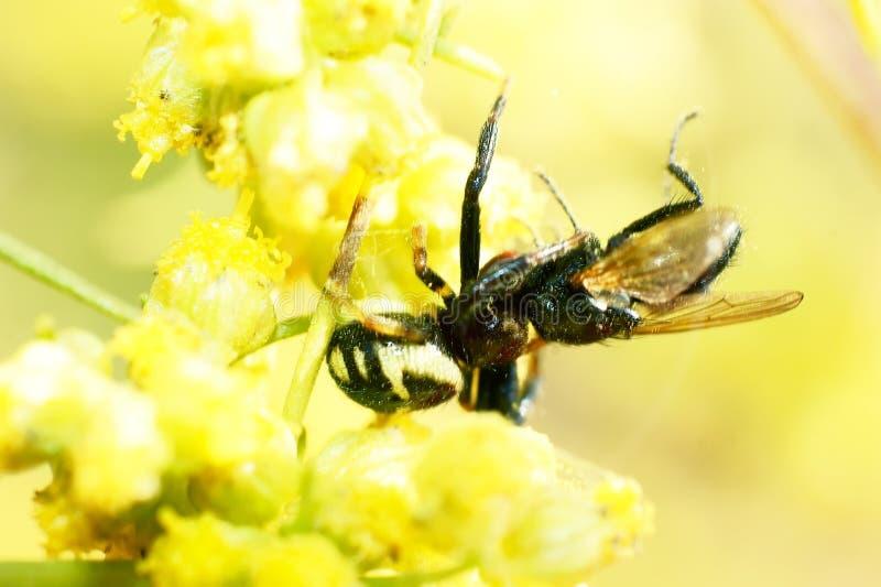 Download Ragno e mosca fotografia stock. Immagine di zanna, petalo - 21550260