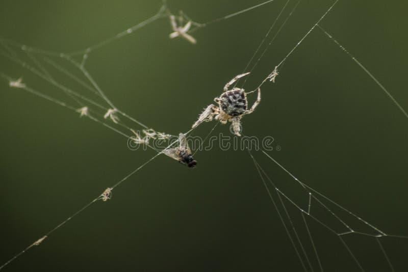 Ragno e preda fotografie stock
