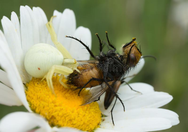 Ragno giallo carico del granchio, vatia di Misumena alimentantesi mosca presa immagini stock